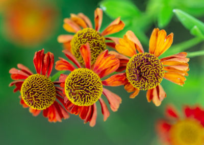 Close-up of bright red helenuim autumnale flowers on green blurred flowerbed background in garden