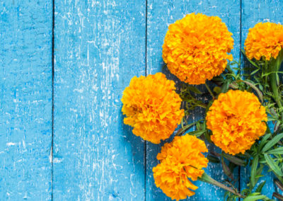 Orange marigolds on a blue wooden background